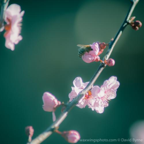 Pollinating a Cherryblossom